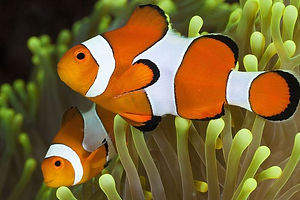 1_Clownfish.jpg