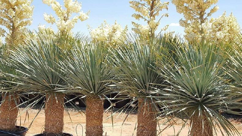 Juka Yucca rigida