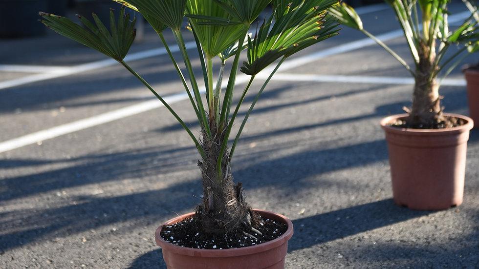 Palmė Trachicarpus Wagnerianus