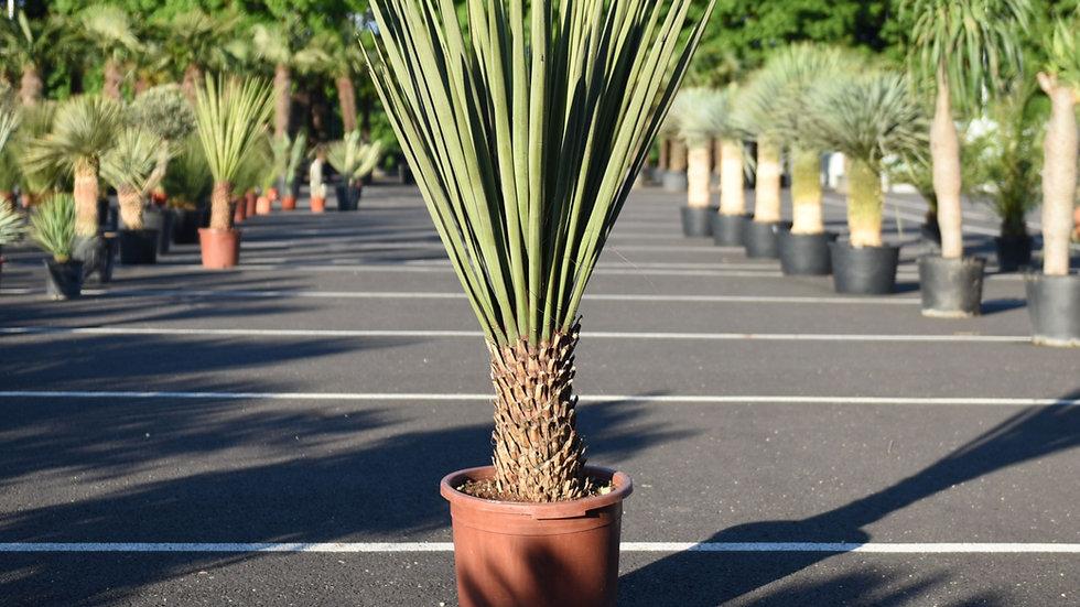Juka Yucca Treculeana