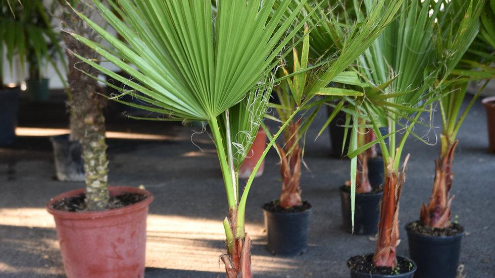 Palmė Robust Washingtonia