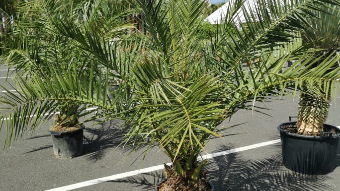 Palmė nuomai Phoenix Canariensis