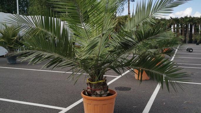Palmė nuomai Jubaea chilensis
