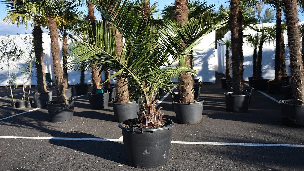 Palmė Jubaea chilensis~230 cm