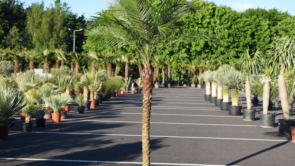 Kambarinė palmė Phoenix Roebelenii