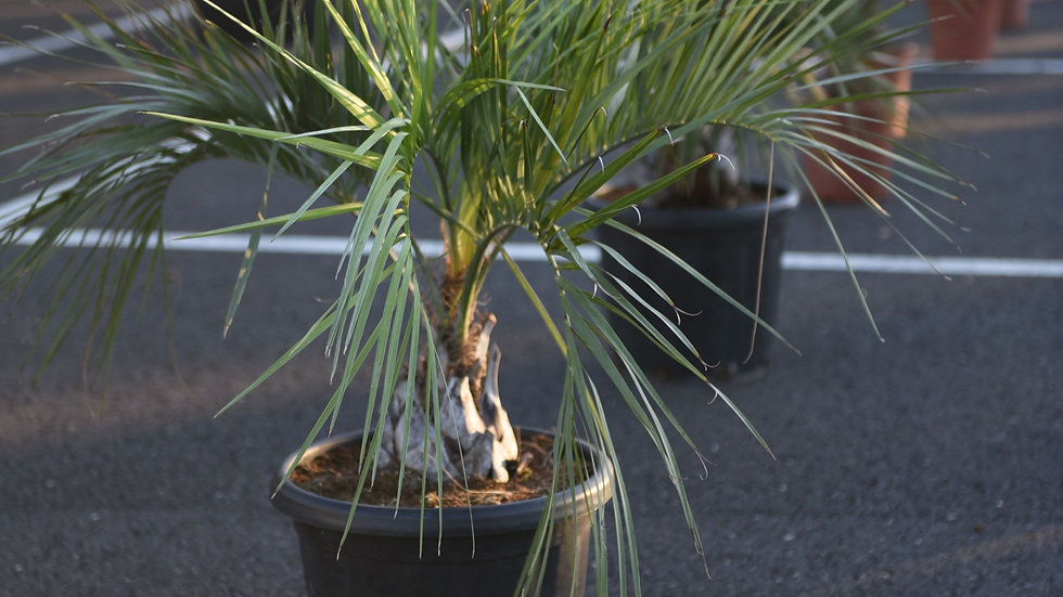 Palmė Butia capitata