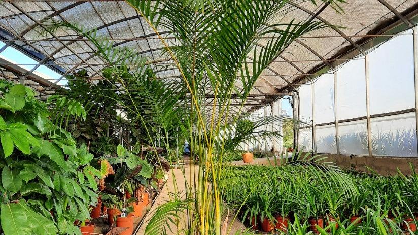 Kambarinė palmė Areca lutescens