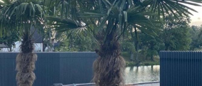 Palmė nuomai Trachycarpus Fortunei