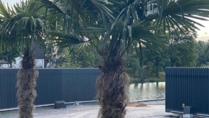 Palmė Trachycarpus Fortunei