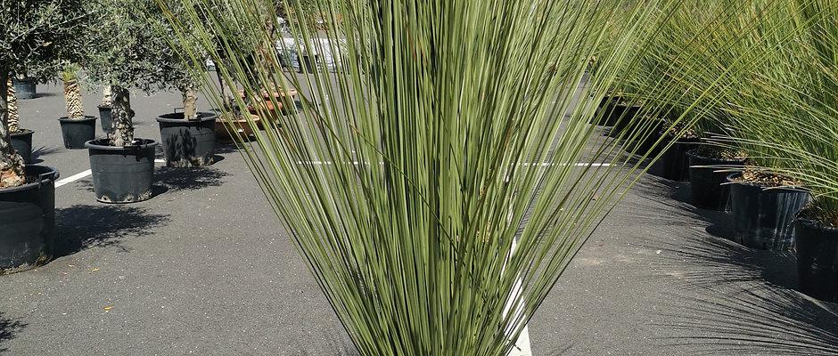 Meksikietiška žolė nuomai Dasylirion longissimum