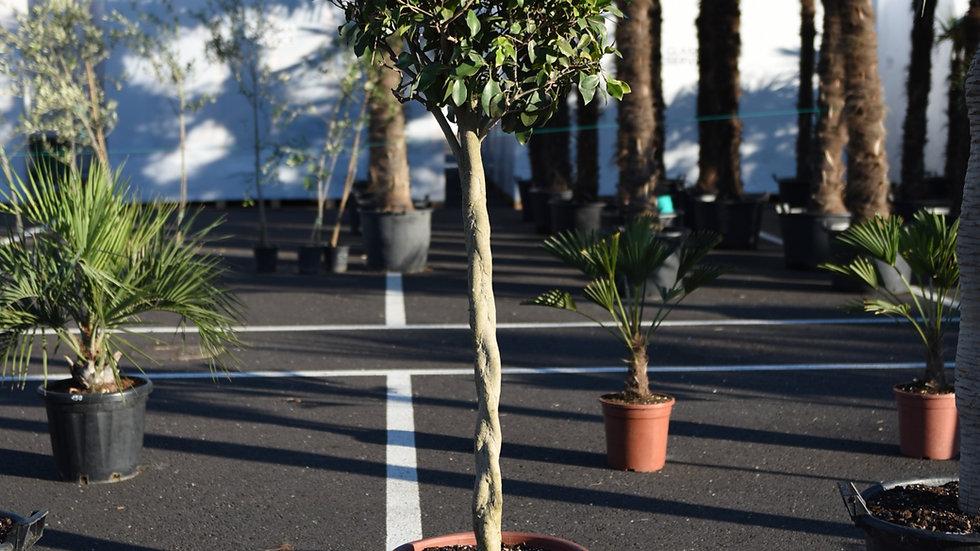 Fikusas Ficus Benjamina