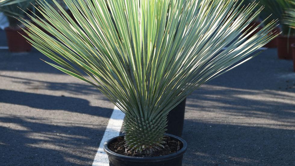 Juka Yucca rostrata