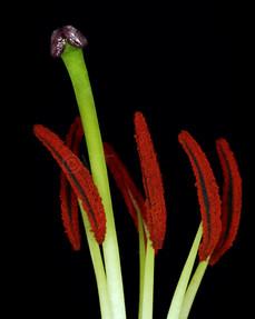 phallic lily 3.jpg