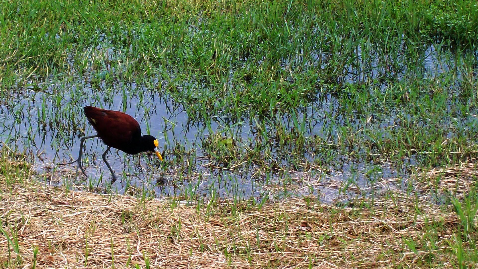 Northern Jacana - Belize