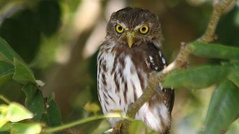Ferruginous Pygmy-Owl.jpg