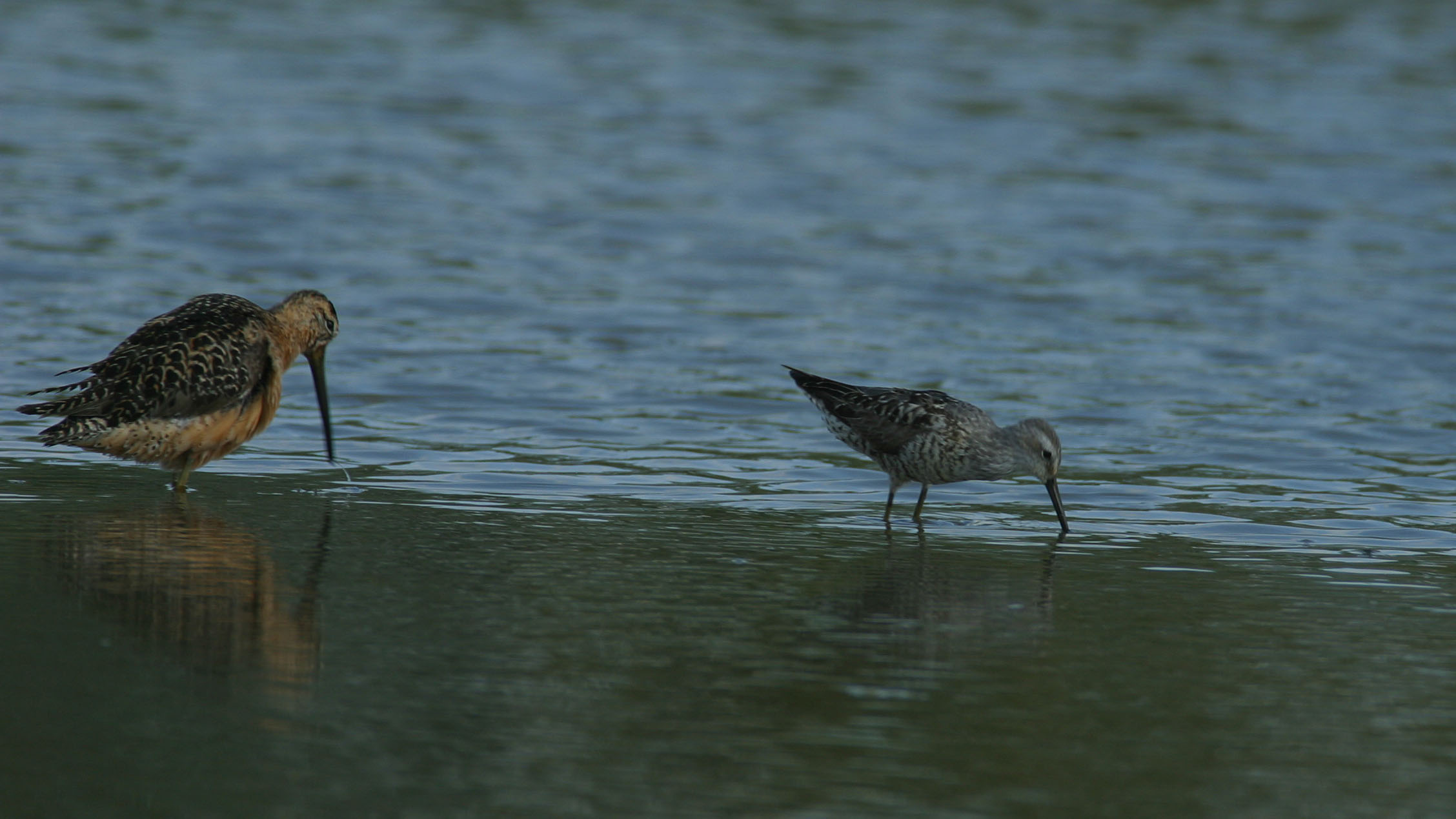 Stilt Sandpiper and Dowitcher