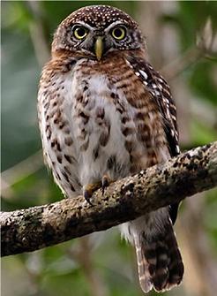 cuban pygmy-owl.png