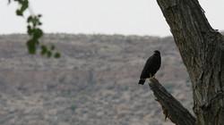 Common Black Hawk - West Texas