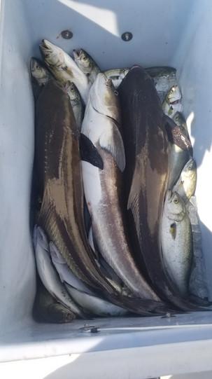 Maryland Cobia Fishing