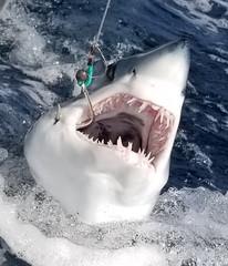 Mako Shark Fishing