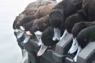 Maryland Diver Duck Hunting