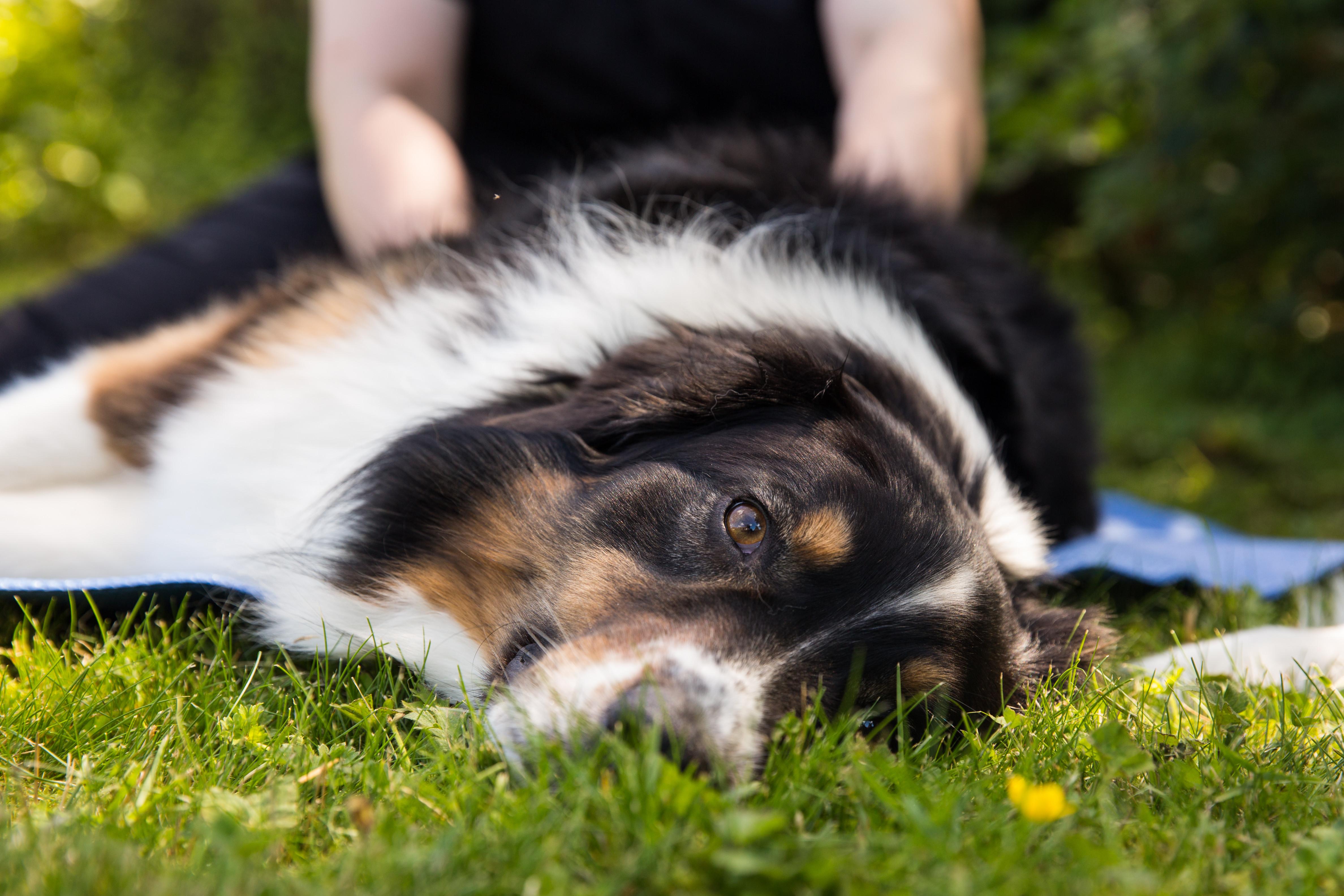 Canine Sports Massage