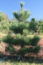 borovice černá.JPG