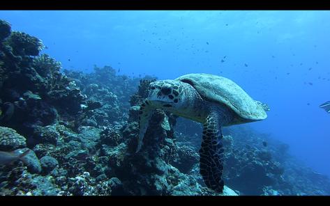 Plongée avec une tortue