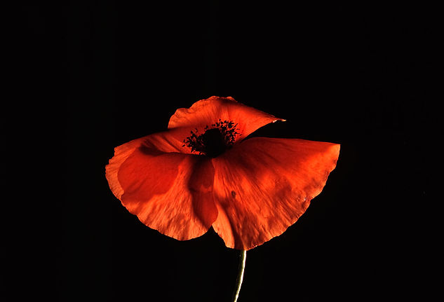 poppy in the night