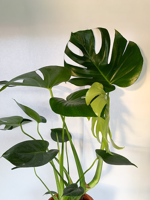 Monstera deliciousa (Swiss cheese plant)