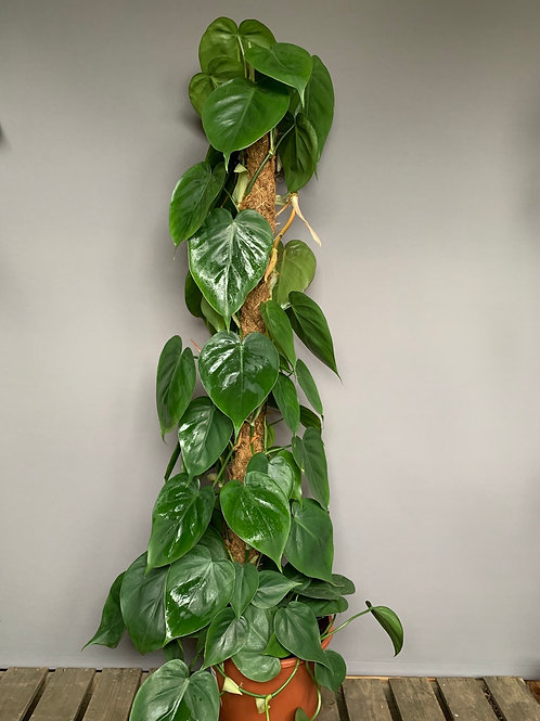 Philodendron scadens pole 1 meter