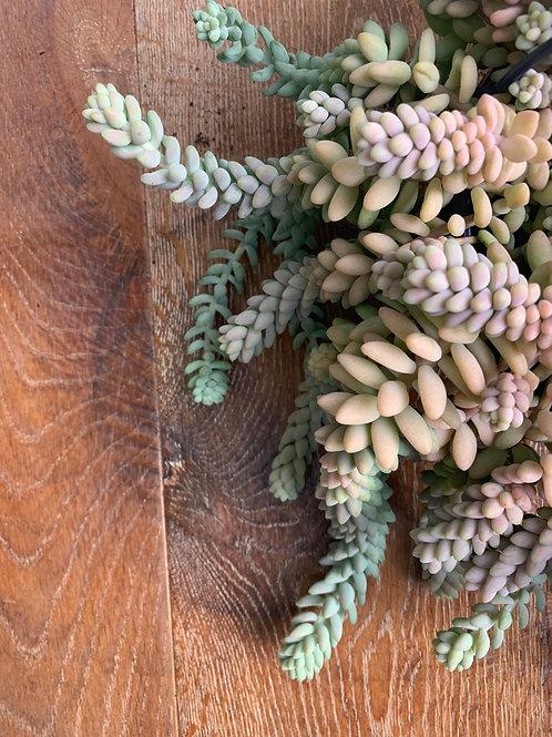 Sedum morganianum in concrete pot
