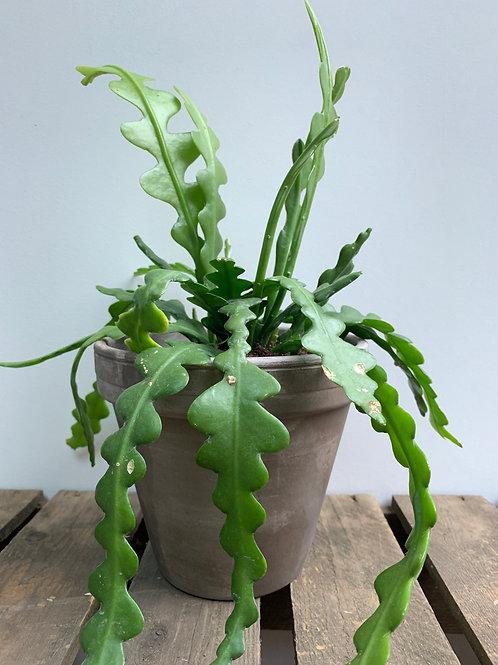 Fish Bone Cactus (Epiphyllum anguliger)