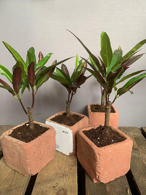 Croton mini tree
