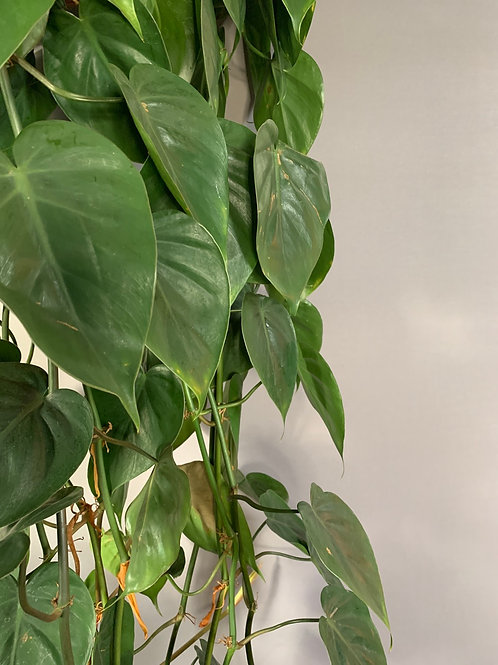 Philodendron scadens XL