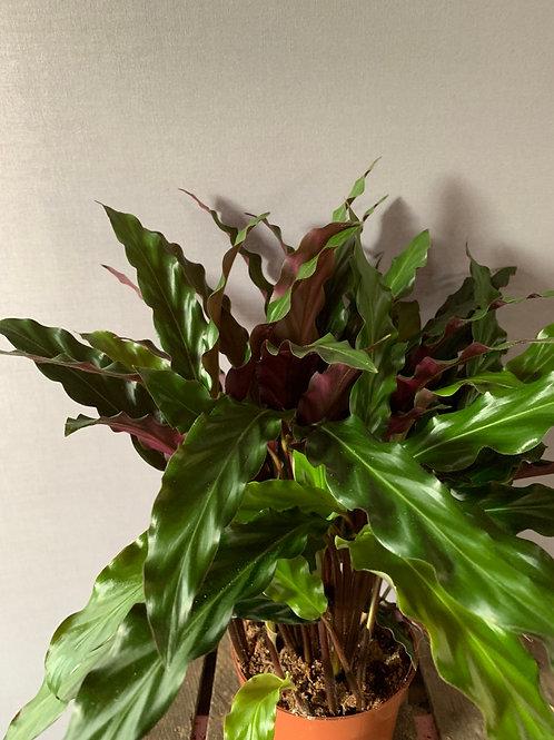 Calathea eldergrass