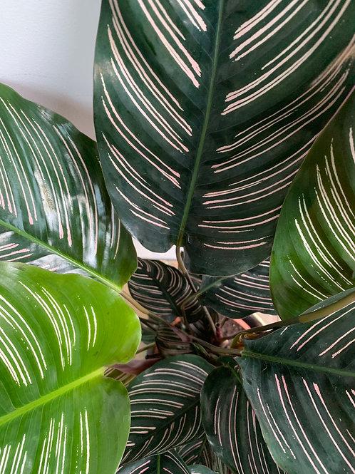 Pink Stripe (Calathea ornata)