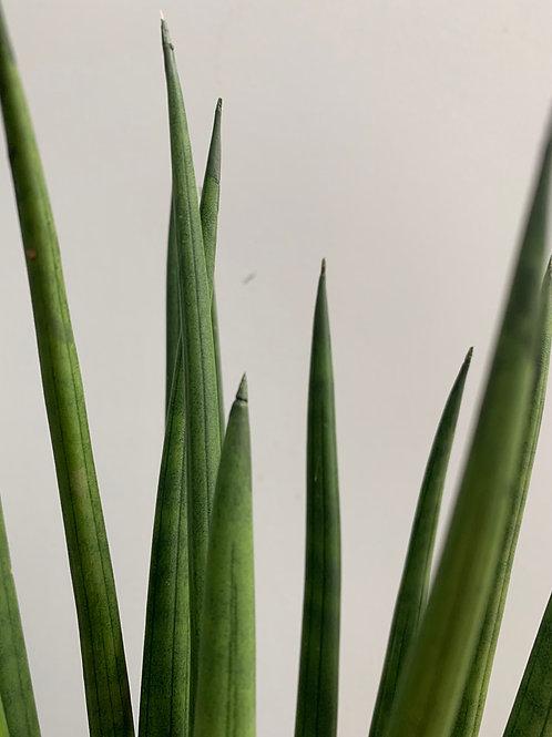 Sansaveria mikado