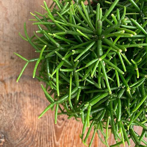 Rhipsalis baccifera Oasis