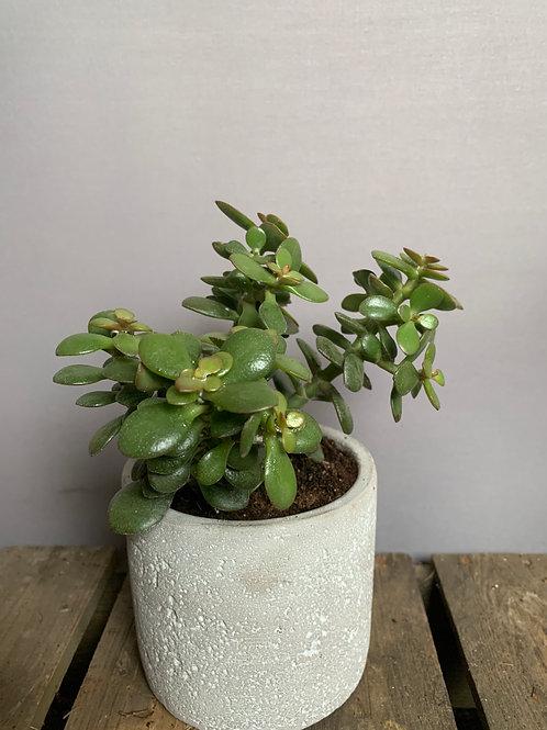 Jade Plant (crassula ovata minor)