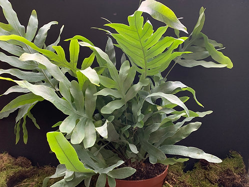 Blue Star Fern (Phlebodium aureum) Large