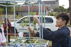 Tying the plants to the stucture