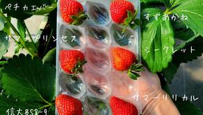 <いちご日記:NAT'sのイチゴたち>