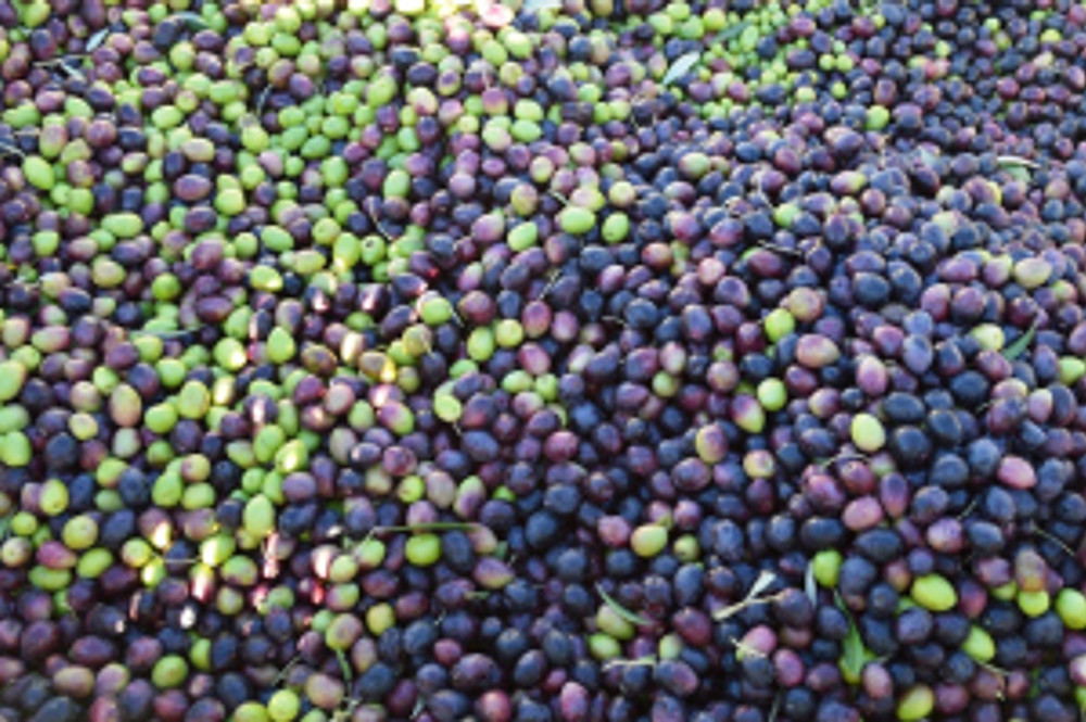 Closeup of the harvest.  The combination of black and green olives makes for tasty oil.  Photo by Michael Imwalle.