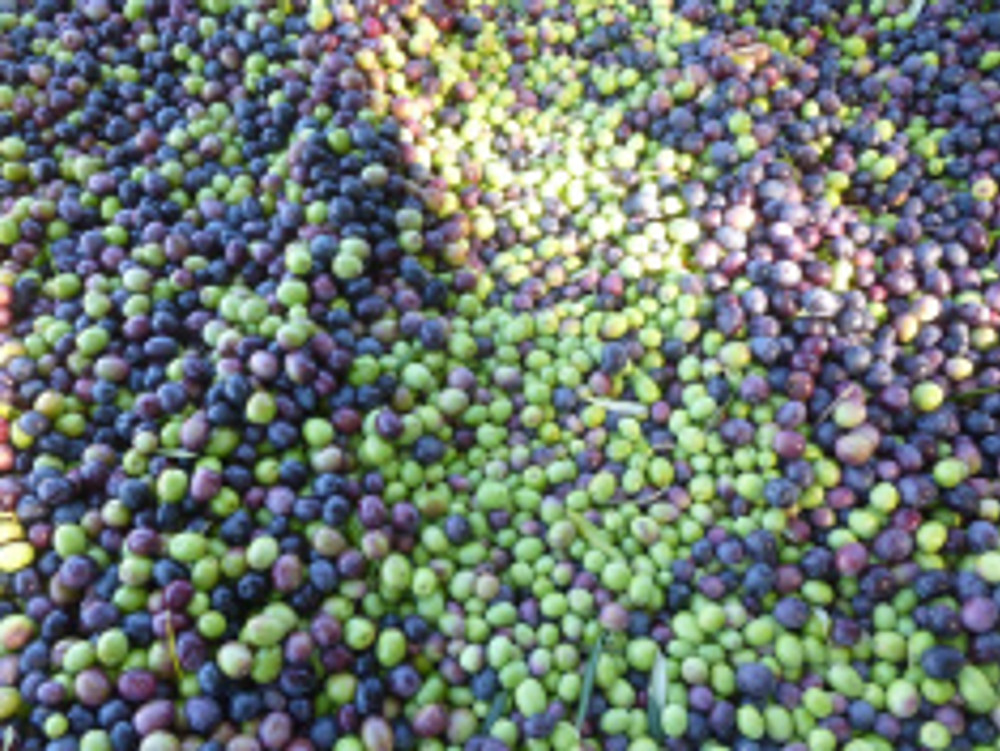 Close-up of 2015 fruit before processing. Photo by Mike Imwalle.