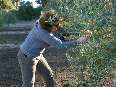 Volunteer Olive Picking Day at the Santa Ines Mission Mills 2011