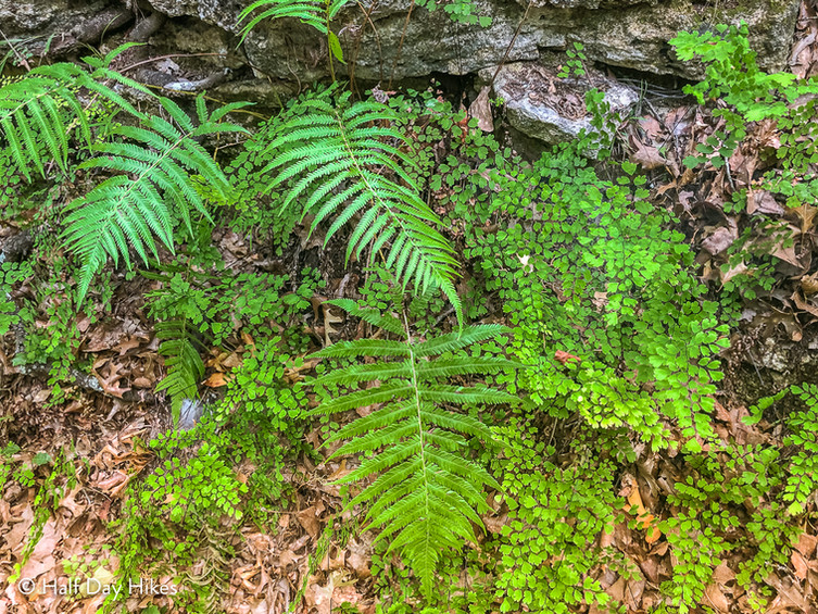 Ferns in Mystic Canyon