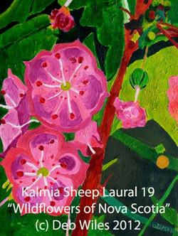 Kalmia Sheeps Laural