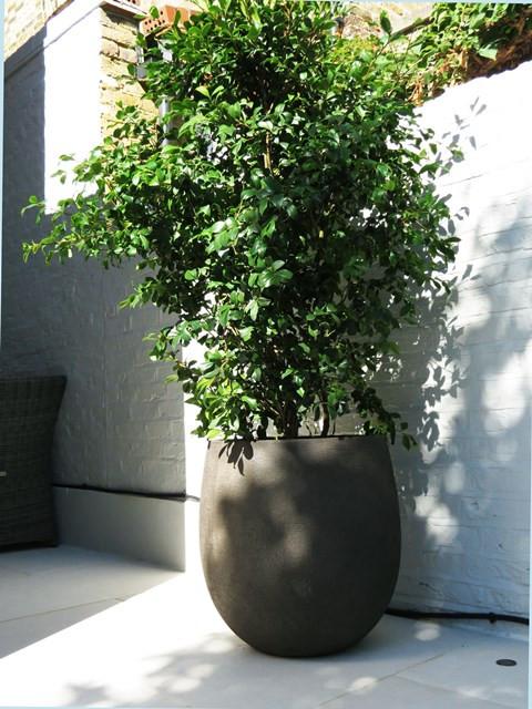 Camellia in pot.jpg