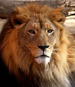 Animal Atlas Lion
